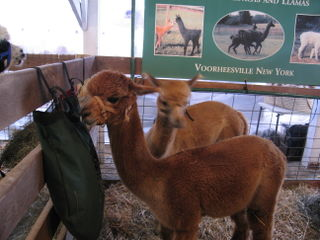 alpacas are cute!