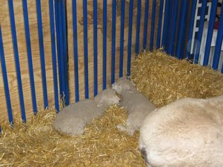 Maryland Sheep and Wool Festival 2010 lambs
