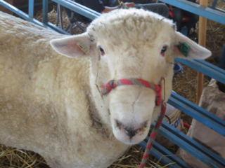 Maryland Sheep and Wool Festival 2014